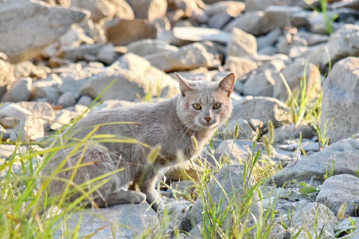 store steiner, nysgjerrighet, innenlands cat, hodet, natur, gulaktig, kjæledyr, innenlandske, kattunge, kattunge