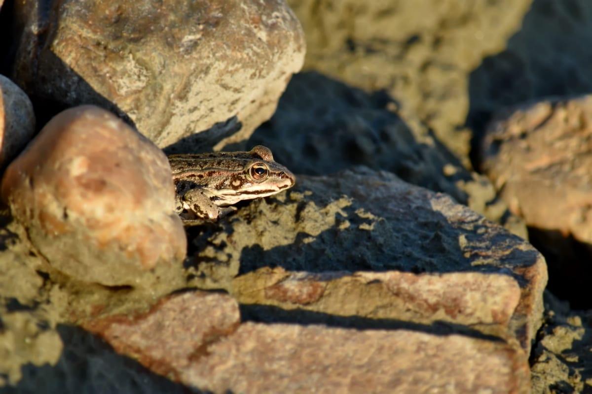 amphibiens, gros rochers, camouflage, grenouille, ombre, nature, à l'extérieur, Roche, faune, eau
