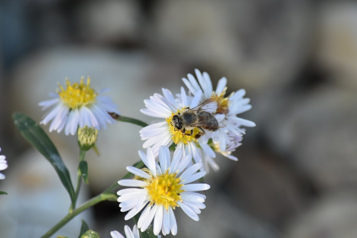 blurry, chamomile, honeybee, pollen, garden, nature, blossom, summer, flower, bee