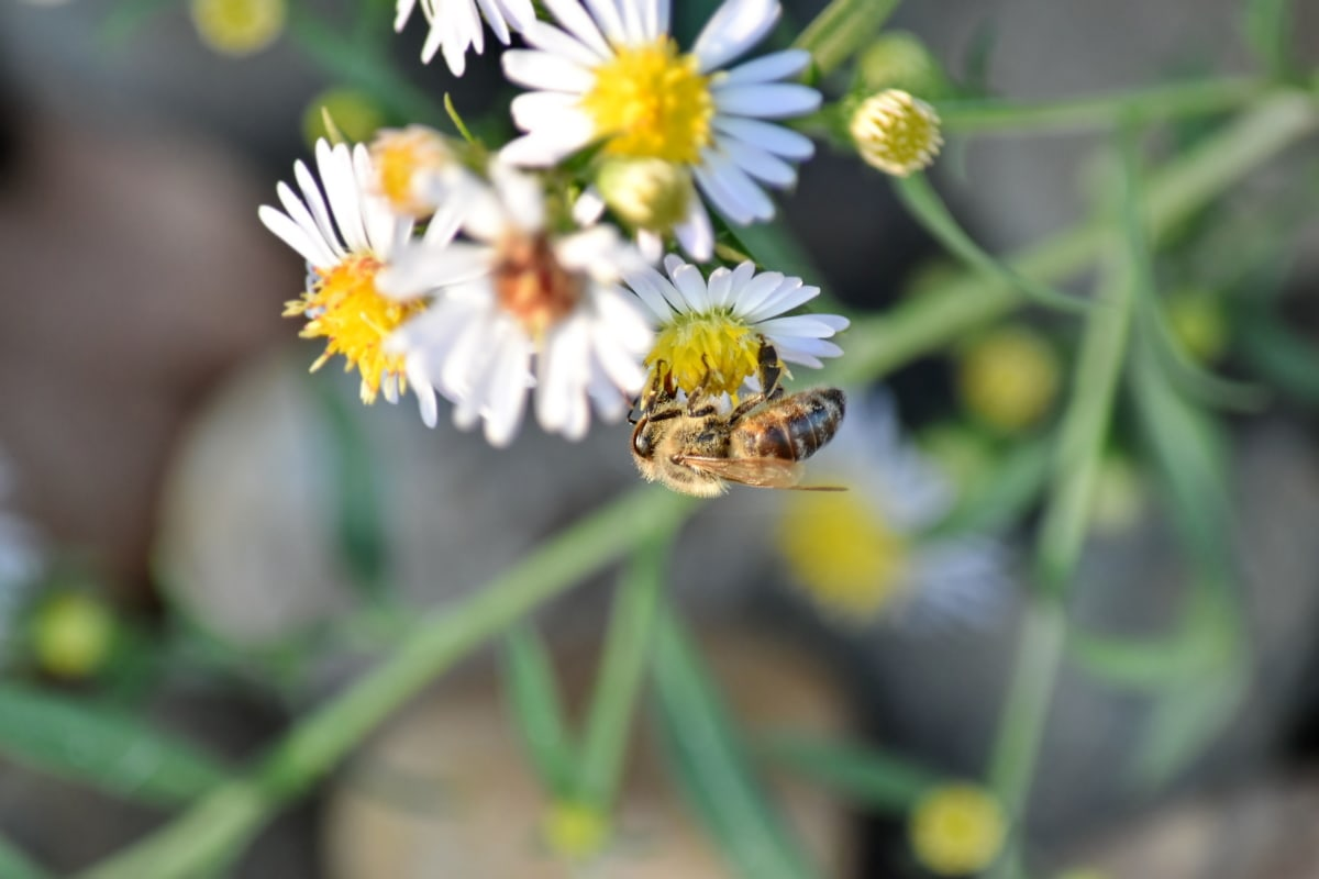 chamomile, detail, honeybee, insect, pollen, pollinating, meadow, summer, flower, bee