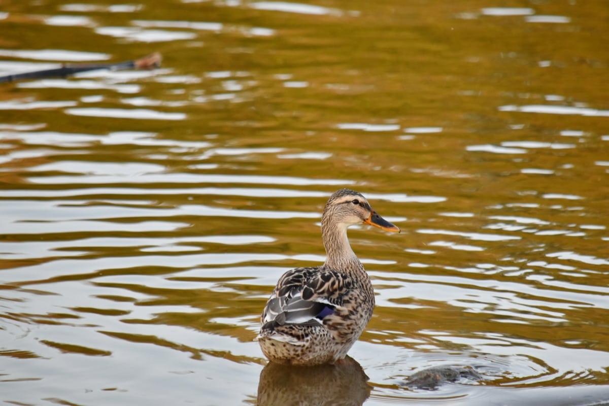 saison de l'automne, Canard colvert, berge, faune, sauvagine, eau, piscine, oiseau, canard, nature