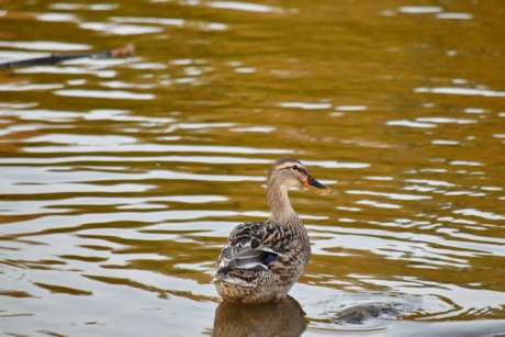 autumn season, mallard, riverbank, wildlife, waterfowl, water, swimming, bird, duck, nature