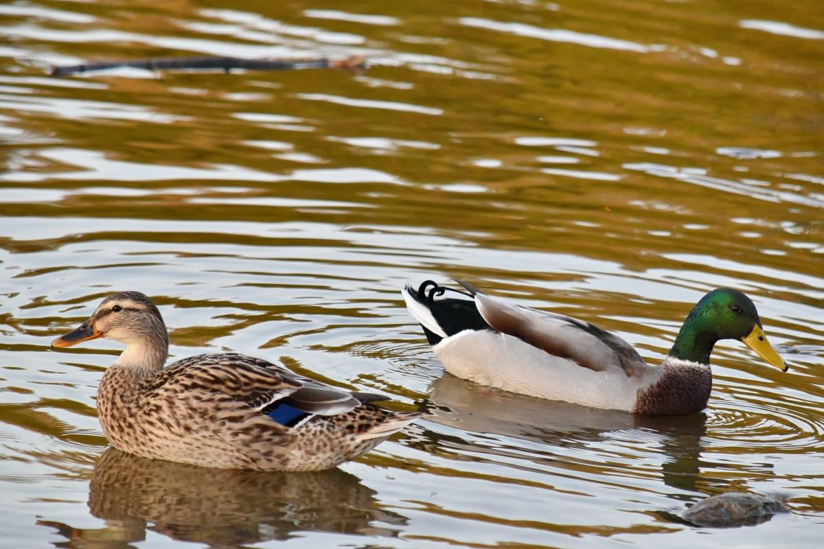 vodní pták, pták rodina, kachny, stádo, kachna divoká, vodní ptactvo, kachna, plavání, divoká zvěř, Příroda