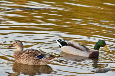 aquatic bird, bird family, ducks, flock, mallard, waterfowl, duck, swimming, wildlife, nature