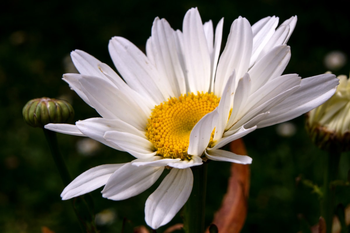 jardín de flores, pétalos de, polen, flor blanca, flor, planta, verano, Jardín, resorte