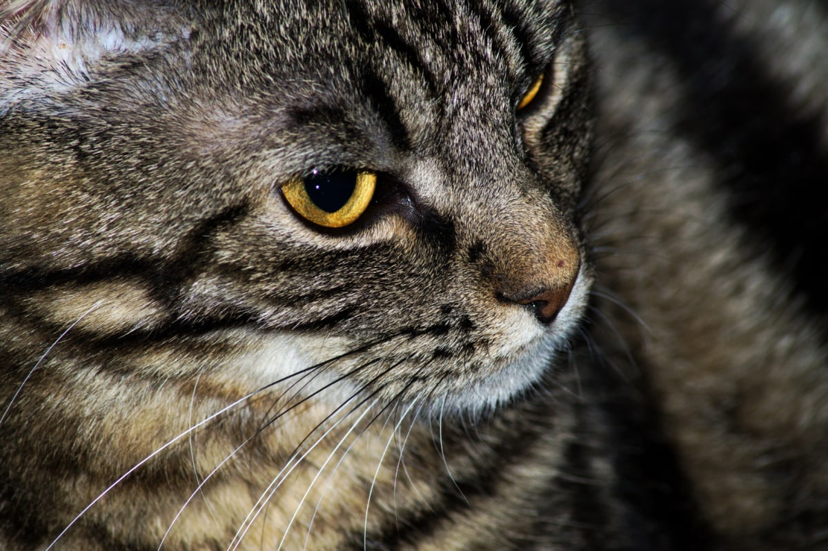 close-up, curious, domestic cat, eye, nose, whiskers, tabby cat, feline, cat, pet