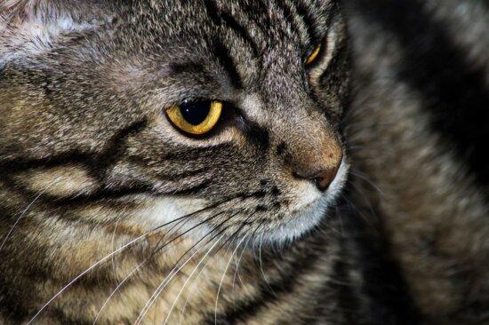 крупным планом, Любопытно, Домашняя кошка, глаз, нос, усы, полосатый кот, кошачьи, кошка, домашнее животное