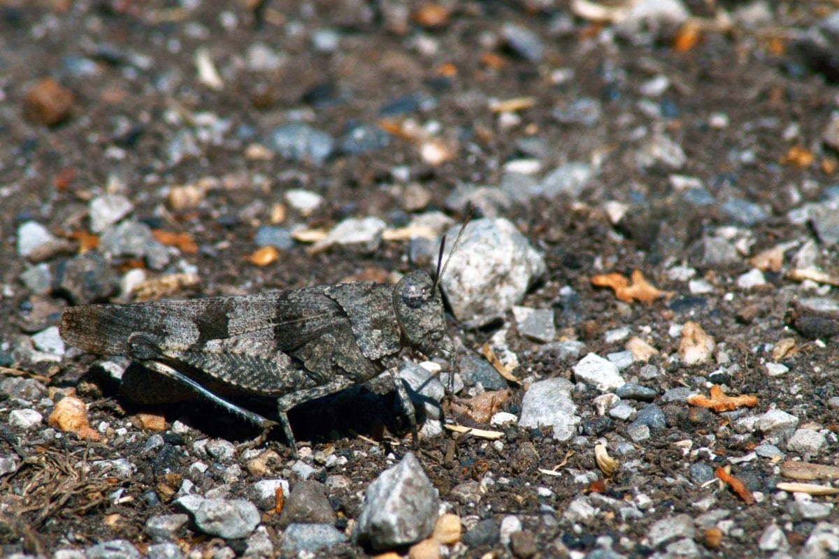 camouflage, grasshopper, grey, ground, pebbles, outdoors, gravel, nature, stone, rock