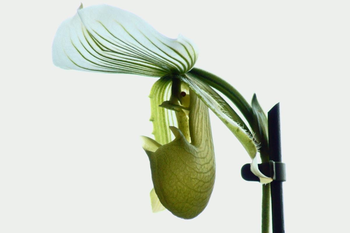κομψό, εξωτικά, πράσινα φύλλα, αγνότητα, στήμονας, τροπικά, λευκό λουλούδι, φύλλο, φύση, χλωρίδα