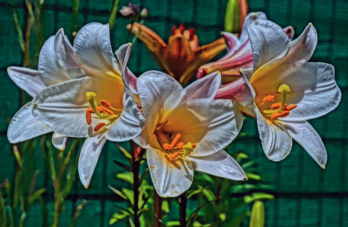 lily, leaf, plant, nature, flower, garden, flora, bright, beautiful, petal