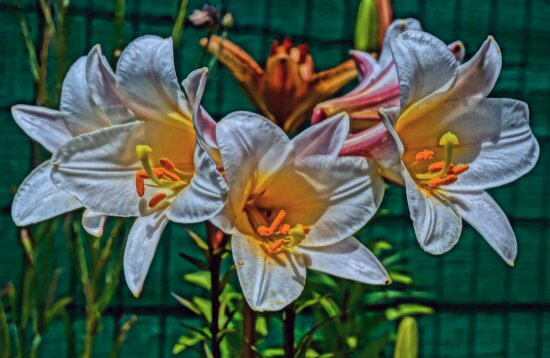Лили, лист, завод, Природа, цветок, сад, Флора, яркий, красивые, Лепесток