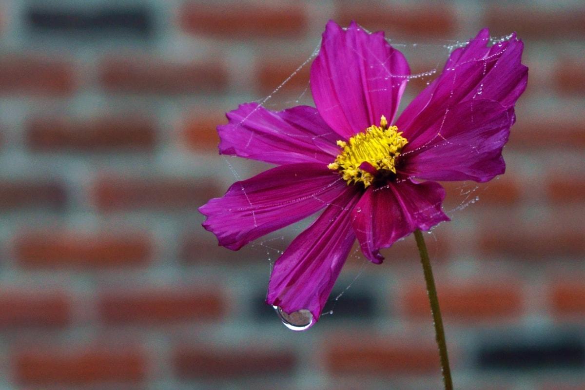 contacto directo, detalle, Rocío, humedad, pétalos de, rosado, polen, gota de agua, tela de araña, Waterdrops