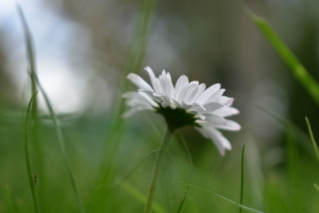 blurry, close-up, daisy, grass, green grass, spring time, white flower, bloom, blossom, close