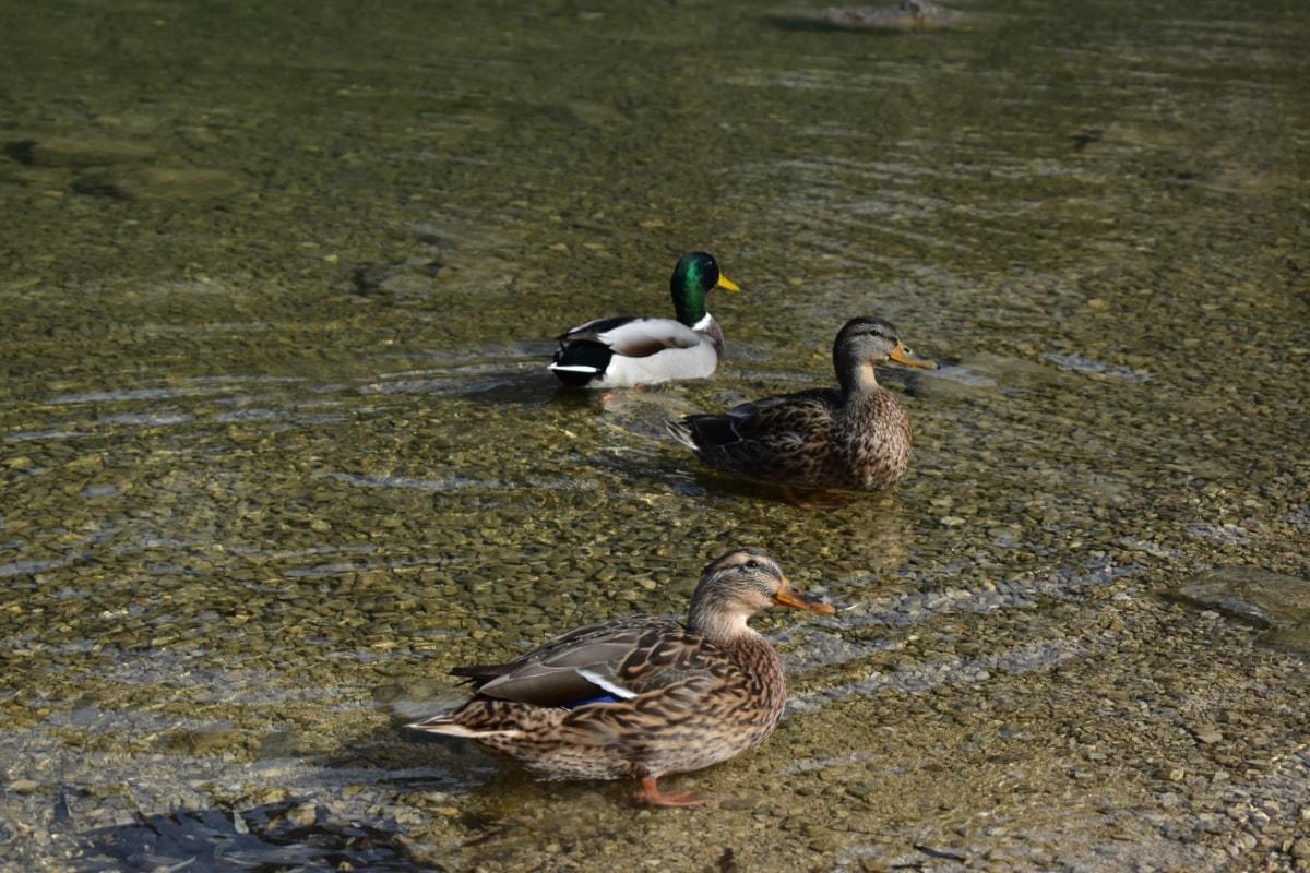 鸟家庭, 羊群, 野鸭, 自然栖息地, 游泳, 水生鸟, 喙, 鸟, 鸟, 鸭