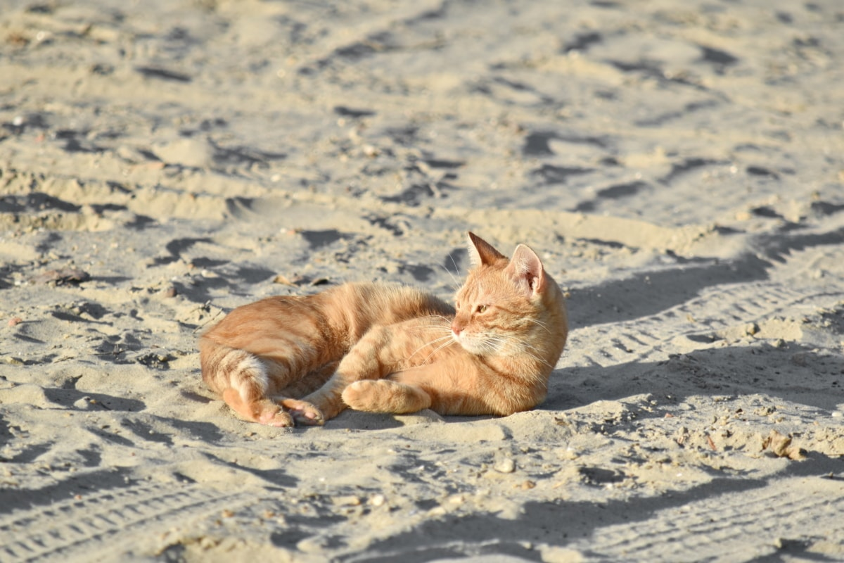 beach, domestic cat, orange yellow, sunshine, kitten, kitty, cat, feline, fur, pet