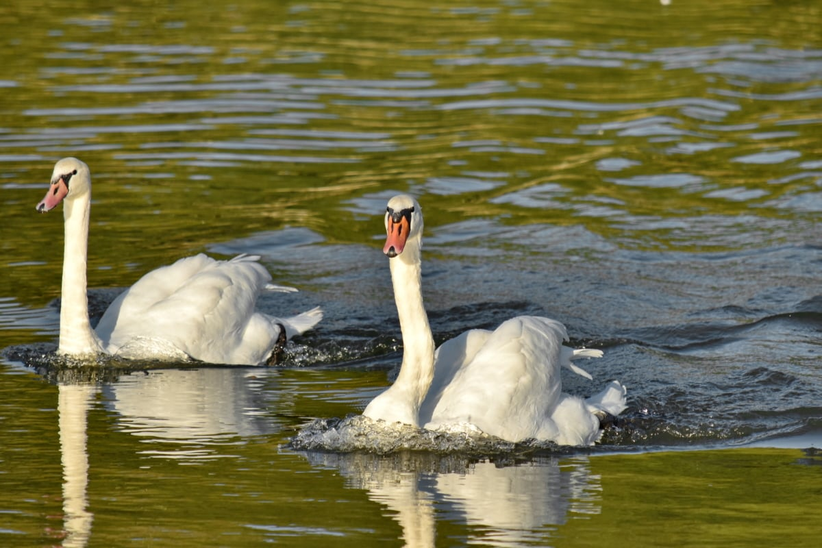 labud, plivanje, valovi, jezero, ptica, bazen, ptice vodarice, voda, vodena ptica, vrat