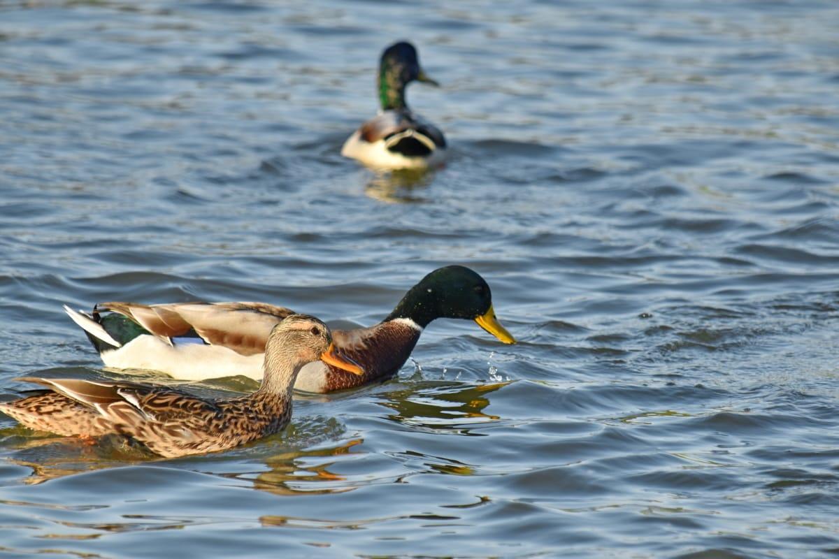 bird family, flock, swimming, water, duck bird, bird, mallard, waterfowl, wildlife, duck