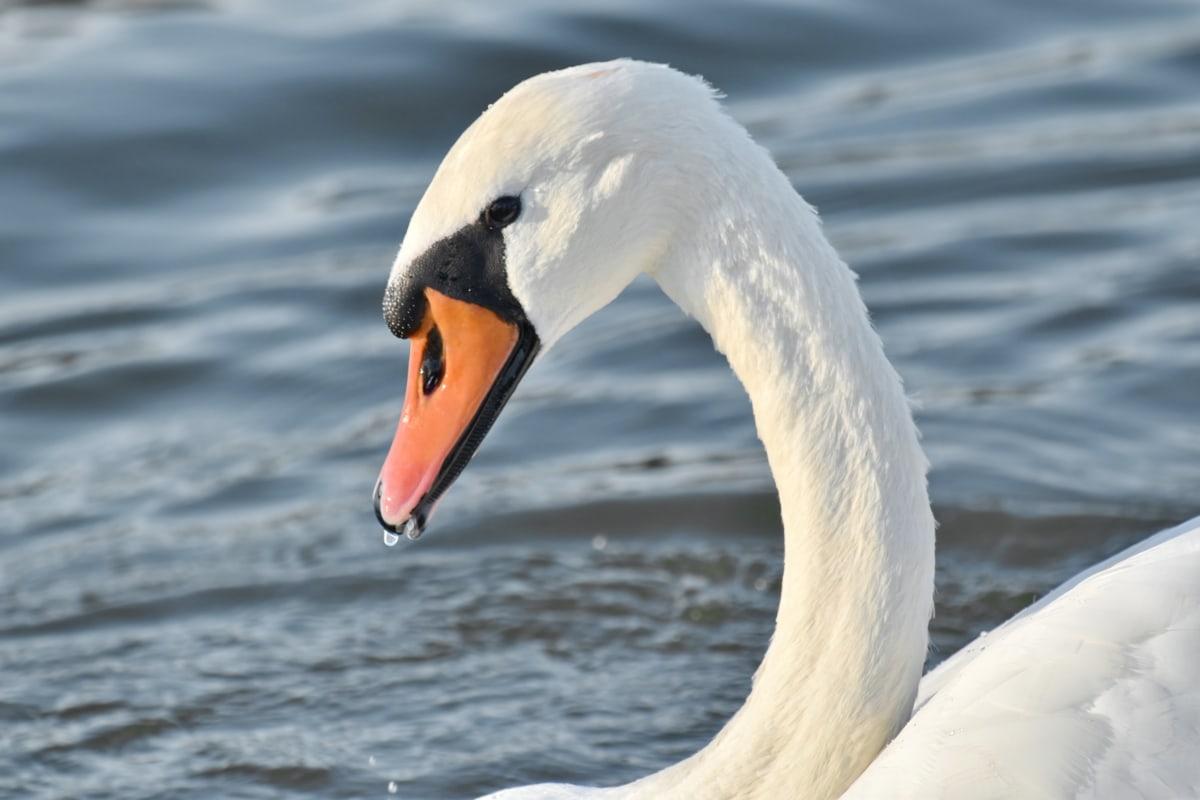 นกน้ำ, จะงอยปาก, สวยงาม, ภาพที่สวยงาม, คอ, หงส์, หยดน้ำ, สัตว์ป่า, ปีก, น้ำ