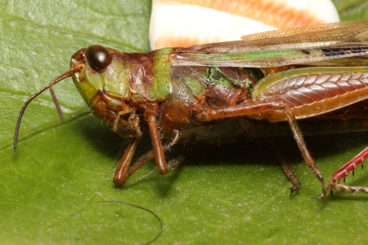 Detaljer, huvud, gräshoppa, vingar, djur, naturen, gräshoppa, antenn, Pest, ryggradslösa djur