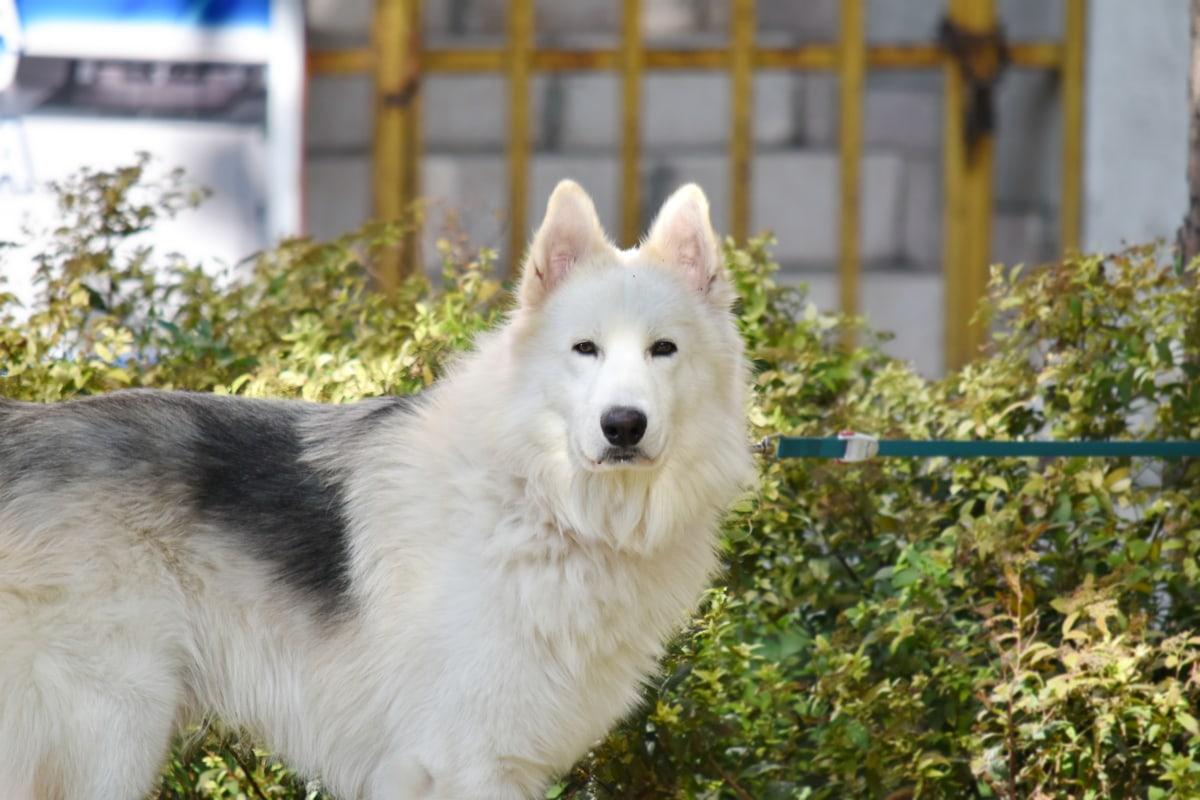 husky, psích záprahov, domáce zviera, Kožušiny, psie, pes, milý, portrét, vonku, zviera