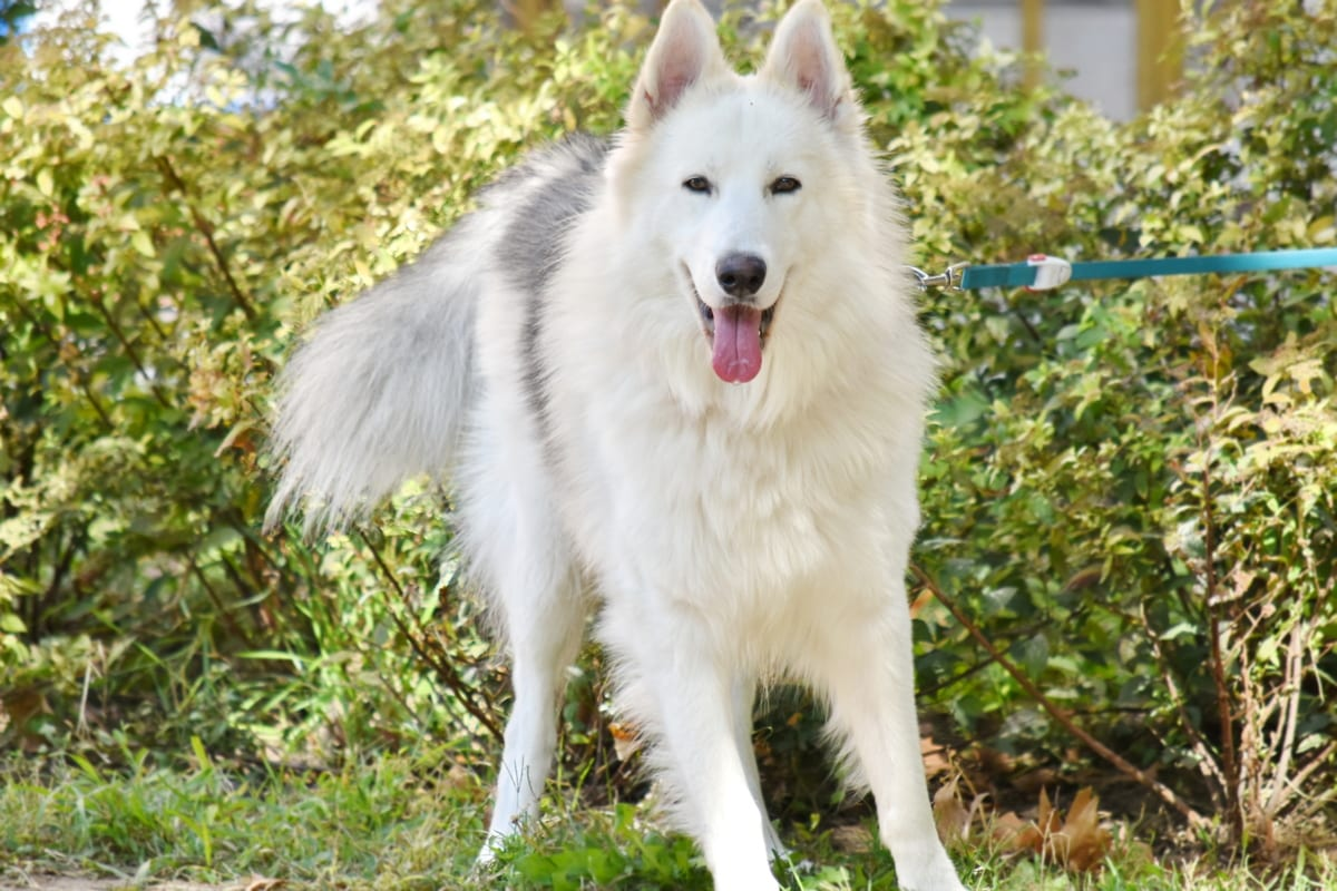 adorable, furry, garden, husky, pedigree, portrait, purebred, tongue, white, dog