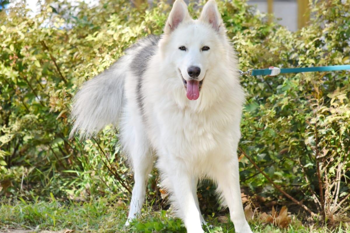 schattig, harige, tuin, schor, stamboom, portret, diertjes, tong, wit, hond