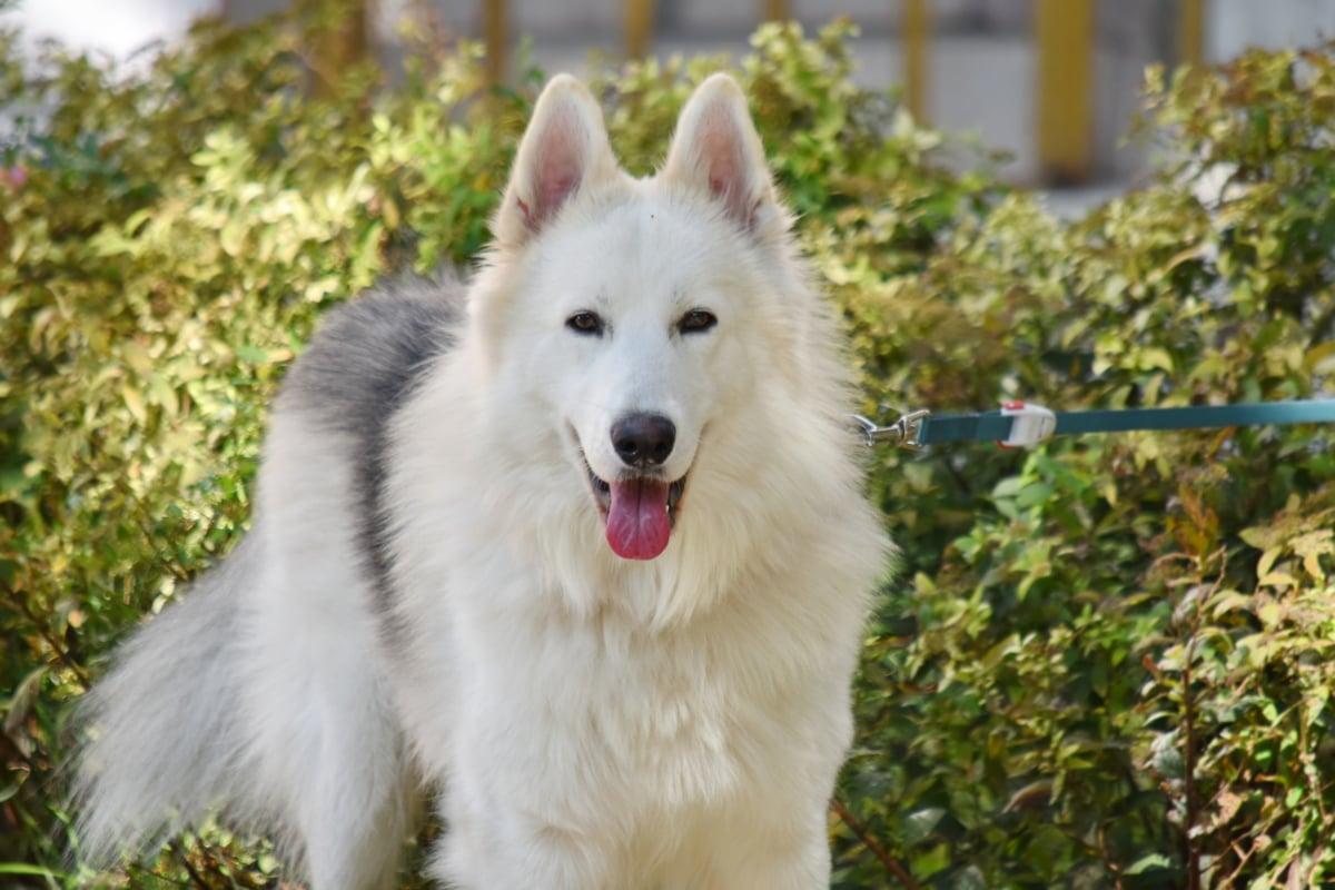 çok güzel, boğuk, kira kontratı, portre, safkan, dil, Beyaz, Kürk, köpek, köpek