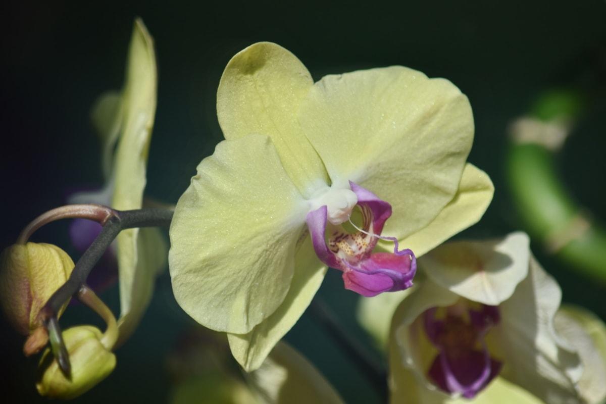 vacker bild, biologi, botanik, blomma, blomknopp, blomma trädgård, gratis bild, orkide, pistill, tropisk