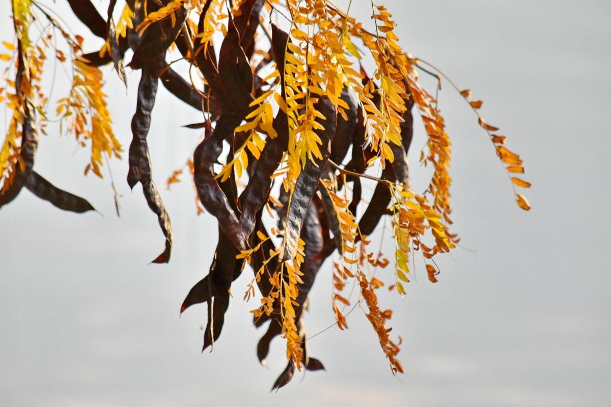akacija, jesen, grane, smeđa, žuto lišće, biljka, priroda, drvo, grana, jesen