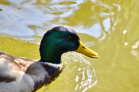 beak, head, moisture, natural habitat, plumage, waterdrops, duck, duck bird, water, waterfowl