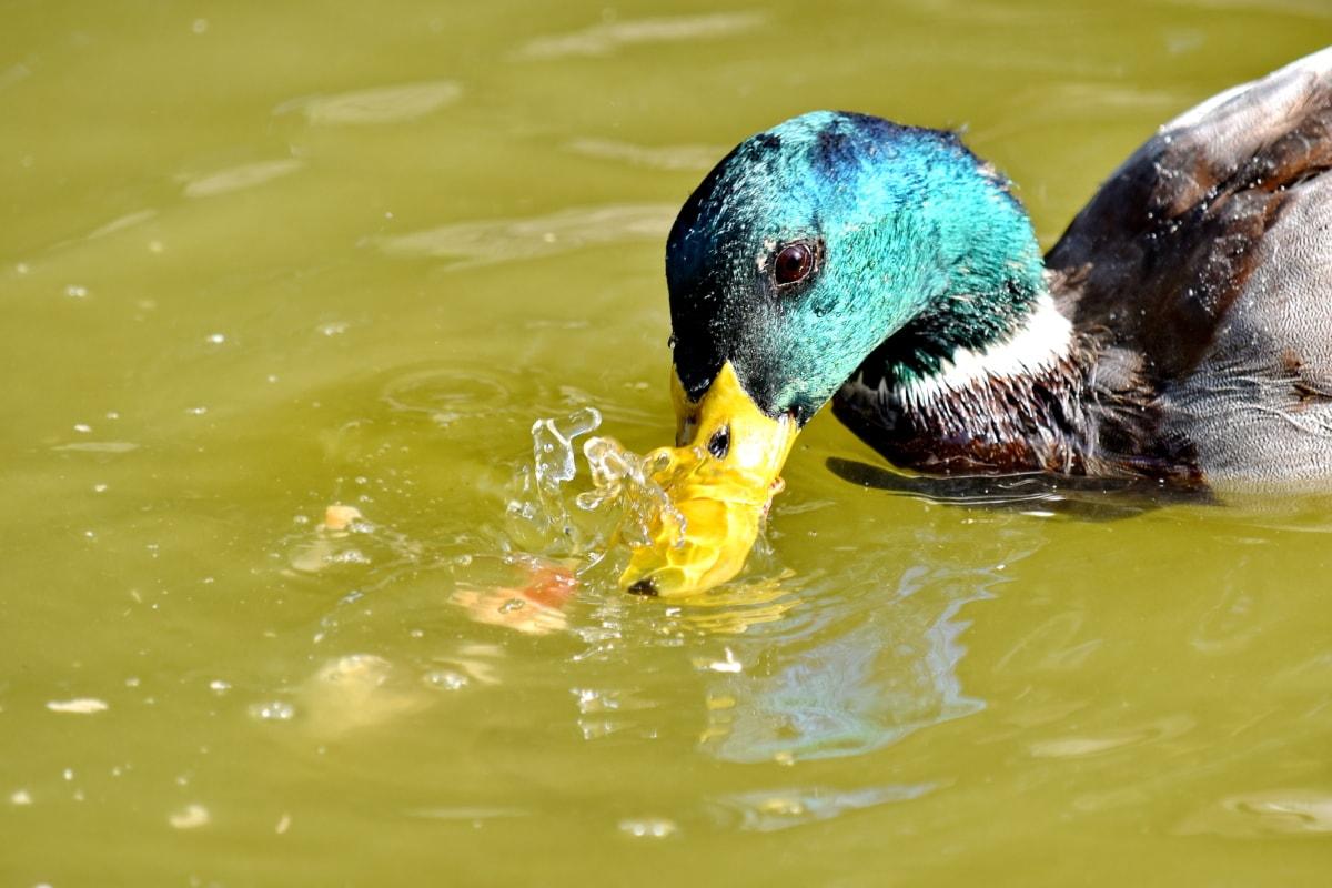 клюн, едър план, главата, зеленоглава патица, перушина, плисък, вода, дива природа, езеро, птица