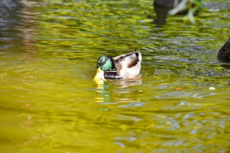 belle photo, coloré, Canard colvert, plumage, nature sauvage, faune, eau, piscine, oiseau, Lac