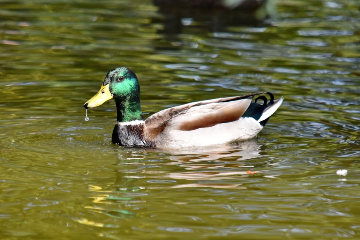 bec, canard, Canard colvert, plumage, goutte d'eau, nature sauvage, faune, Lac, sauvagine, piscine