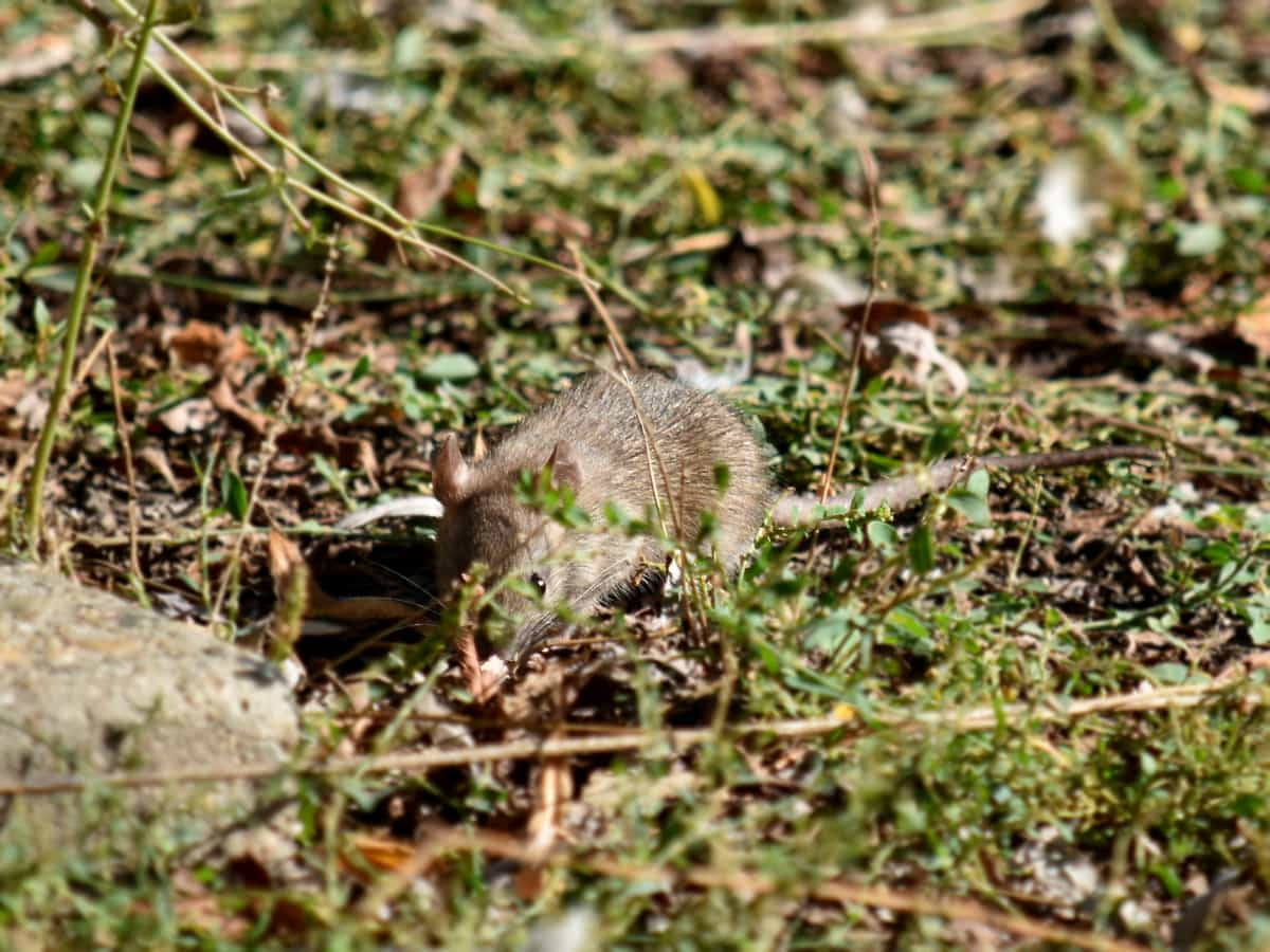 mouse, wildlife, rodent, nature, outdoors, grass, wild, leaf, animal, ground