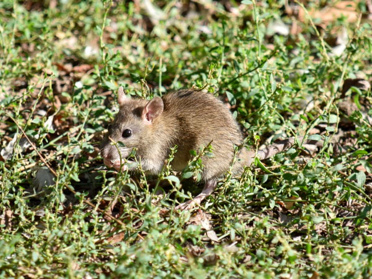 mouse, wild, rodent, nature, wildlife, animal, grass, outdoors, fur, cute