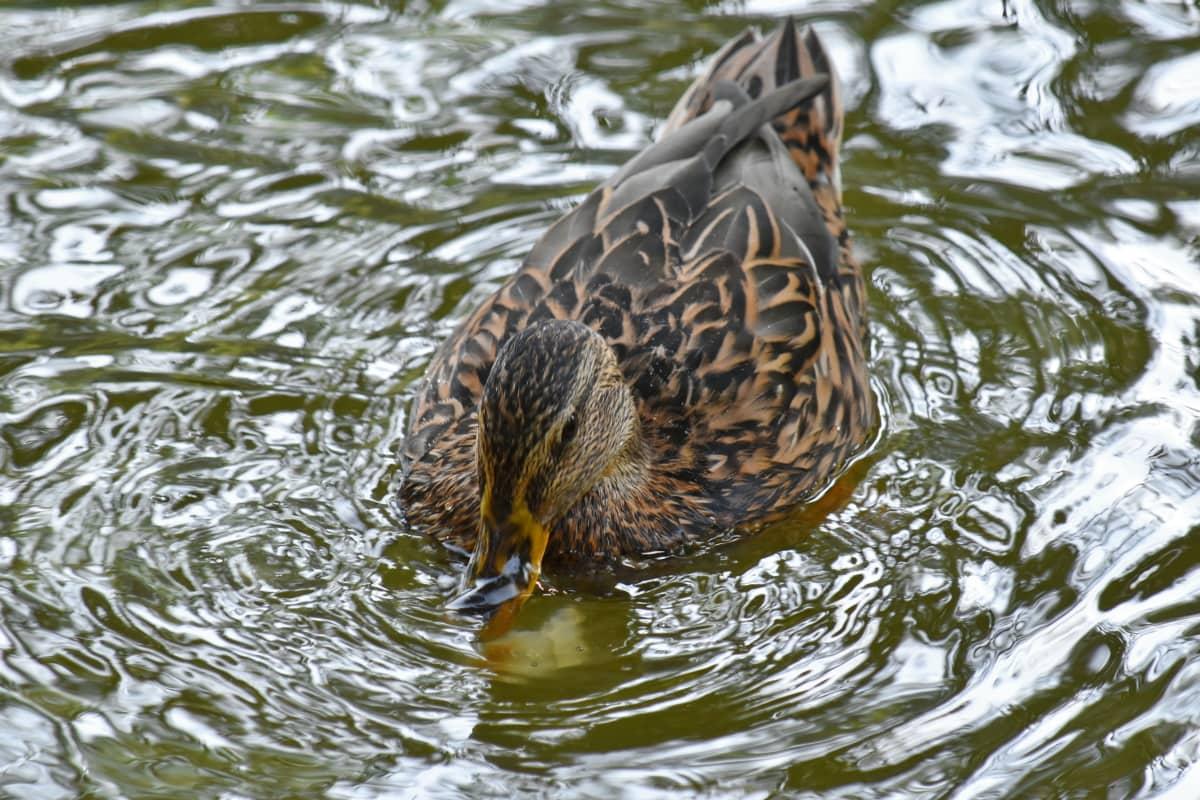 divlja patka, ptica močvarica, biljni i životinjski svijet, Divljina, priroda, patka, plivanje, voda, divlje, ptica