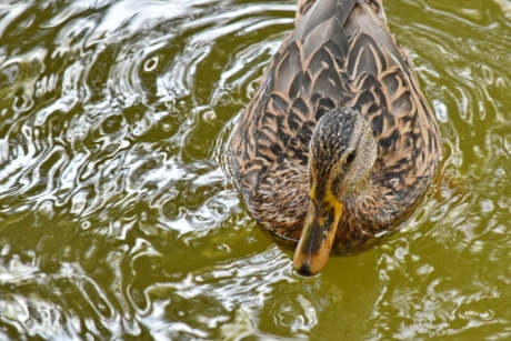 close-up, mallard, waterdrops, bird, wildlife, nature, pool, wild, swimming, wading bird