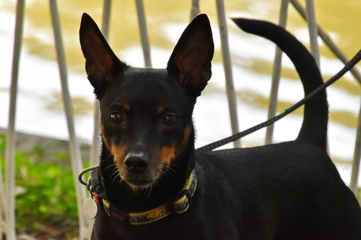 curiosity, dog, domestic, leash, purebred, pet, cute, canine, breed, animal