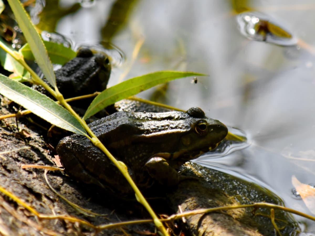 obala rijeke, vodozemac, žaba, velika žaba, biljni i životinjski svijet, priroda, gmaz, voda, bazen, životinja
