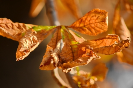 autumn season, brown, leaves, maple, nature, leaf, wood, outdoors, dry, bright