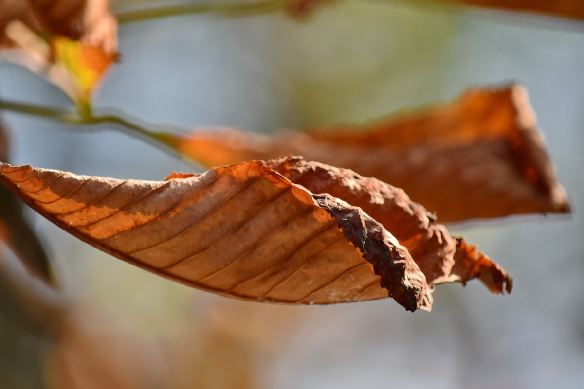autumn season, dry, leave, light brown, yellow leaves, leaf, nature, wood, blur, outdoors