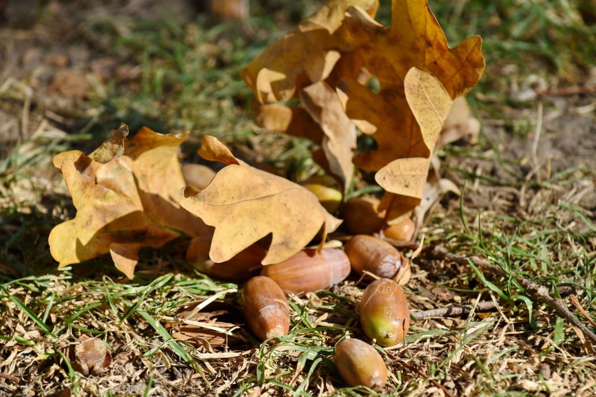 acorn, autumn season, organism, ground, nature, leaf, wood, season, flora, tree