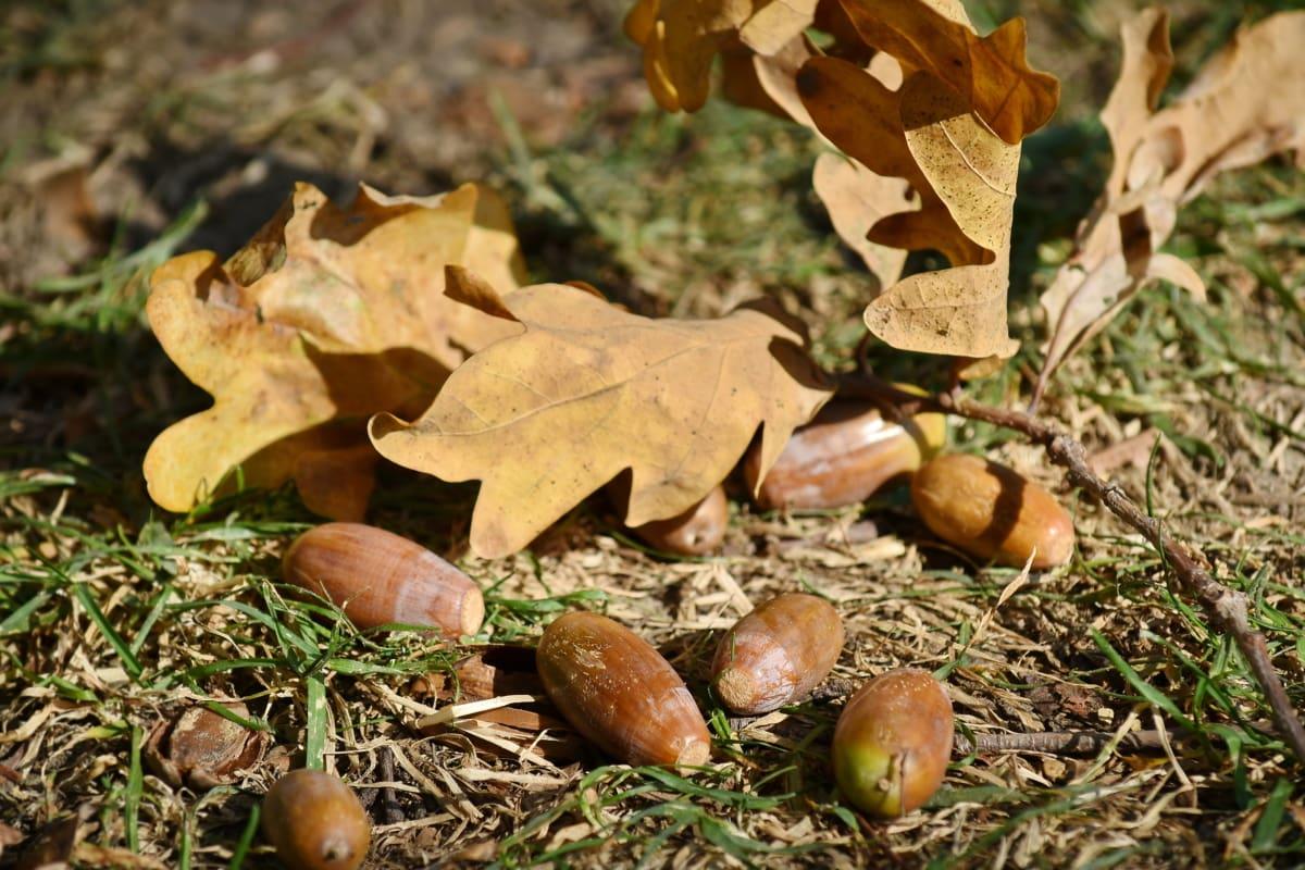 biji pohon ek, musim gugur musim, cabang, rumput, daun, alam, kayu, pohon, flora, musim