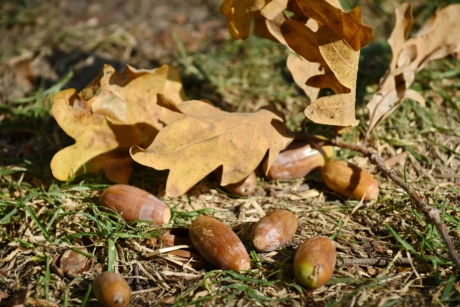 acorn, autumn season, branch, grass, leaf, nature, wood, tree, flora, season