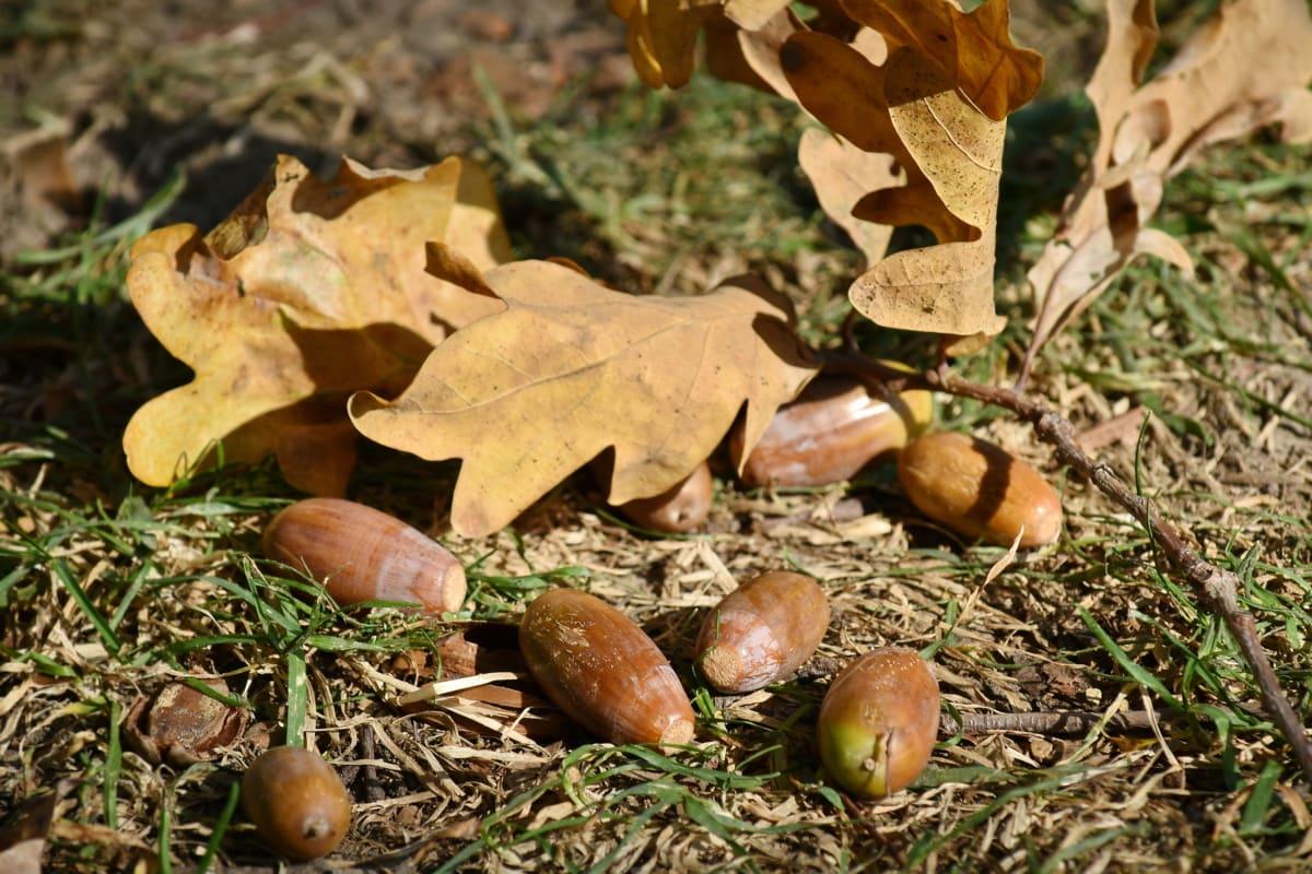 seminţe, frunze, ghindă, natura, lemn, copac, flora, sezon, în aer liber, sol