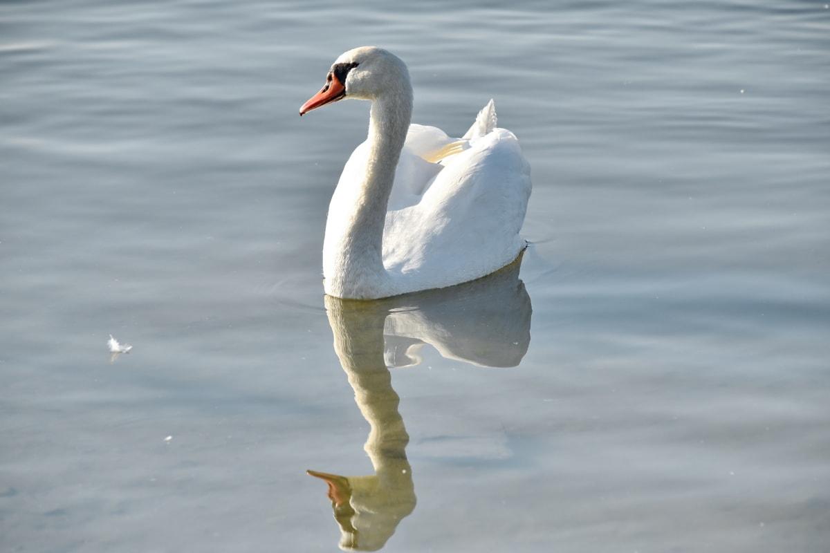 恩典, 脖子, 反射, 天鹅, 野生动物, 羽毛, 水生鸟, 鸟, 水, 水禽