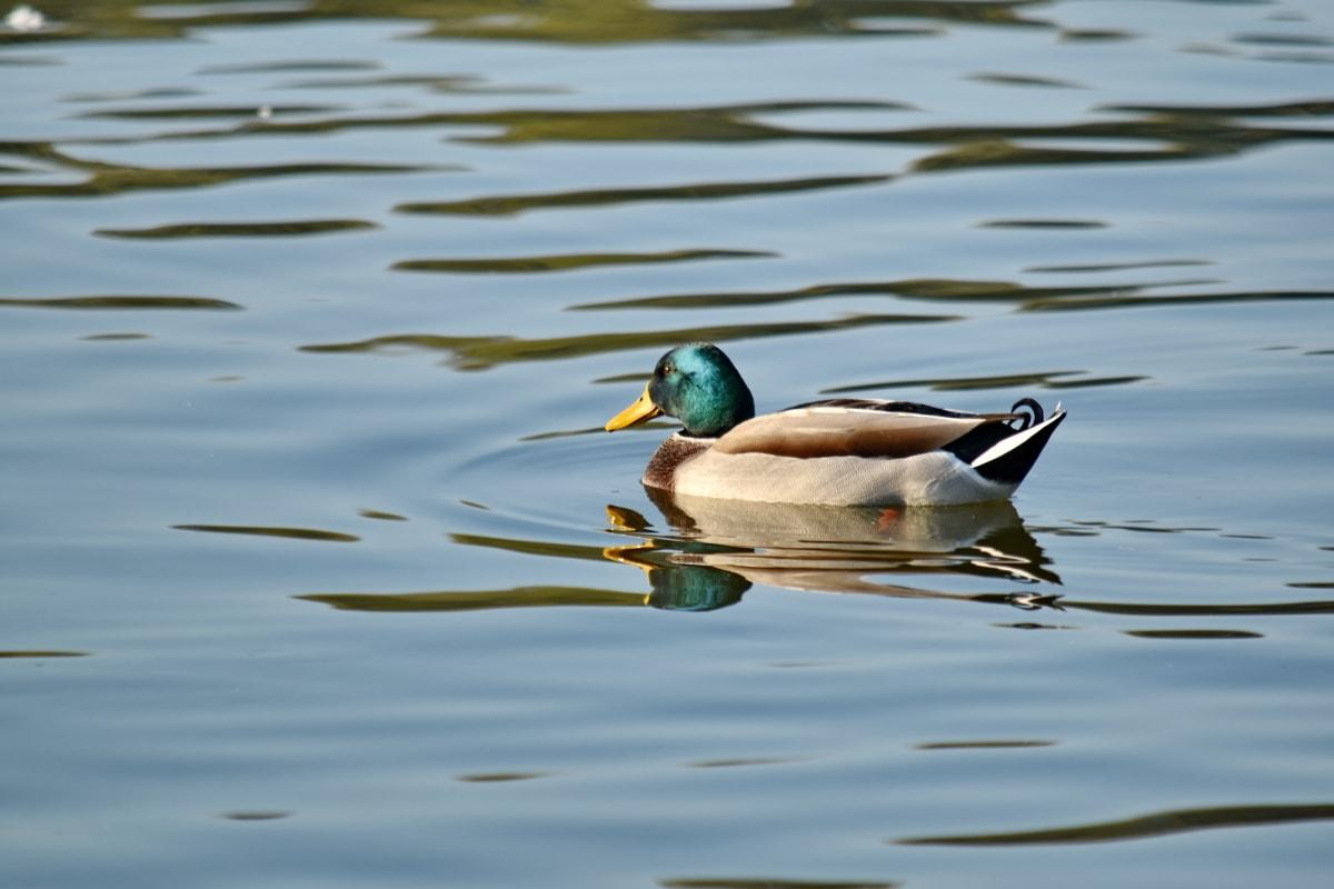 šareno, patka, divlja patka, prirodno stanište, perje, plivanje, valovi, biljni i životinjski svijet, ptice vodarice, voda