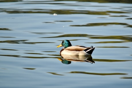 duck, plumage, reflection, wilderness, pool, duck bird, feather, waterfowl, water, lake