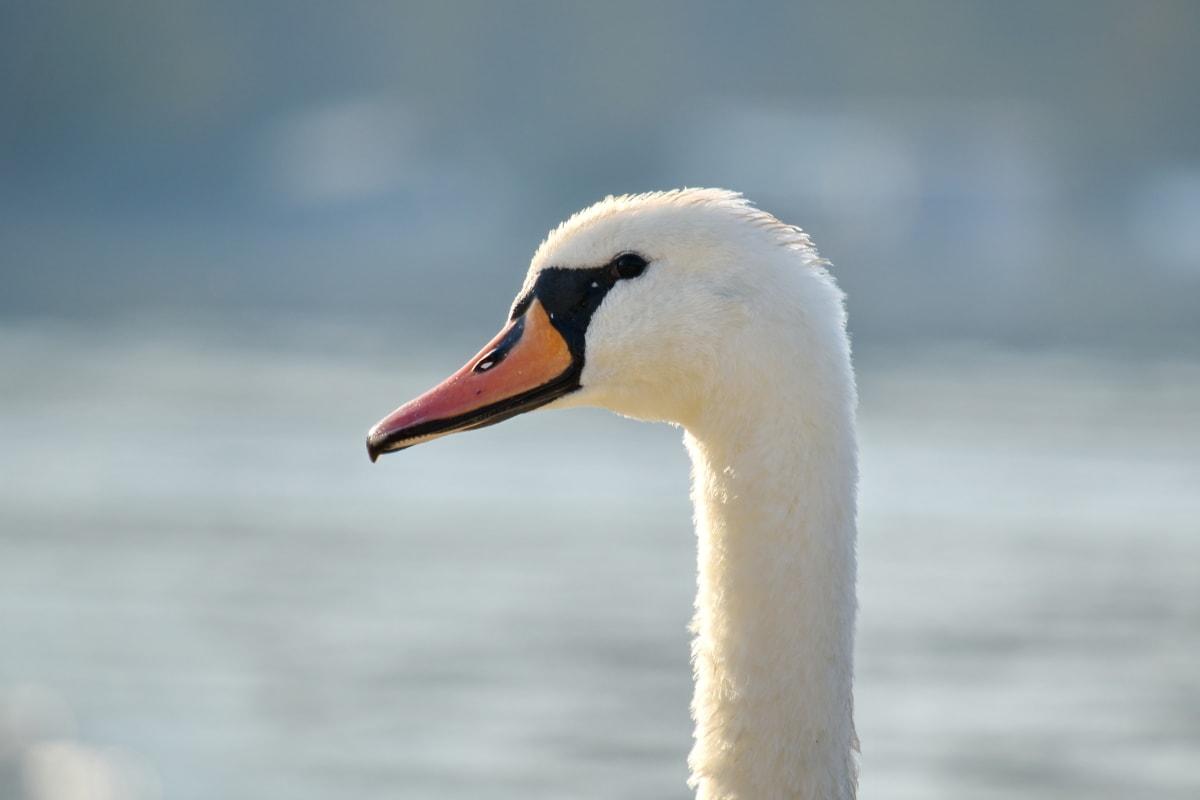 beak, looking, nose, side view, swam, waterfowl, wildlife, feather, swan, water
