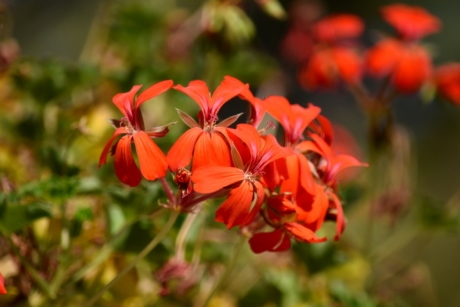 flowers, geranium, petals, red, sunshine, plant, summer, nature, flower, herb